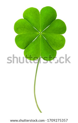 good luck Green clover four leaf isolated on white background. This has clipping path. Foto d'archivio ©