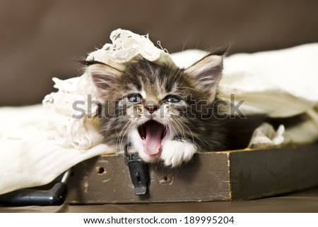 Good morning! Adorable maine coon kitten
