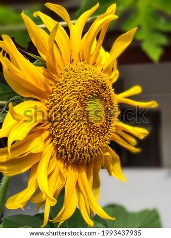 Good morning yellow mellow sunflower Foto stock ©