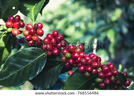 Good quality Arabica coffee on high mountain. In Southeast Asia thailand