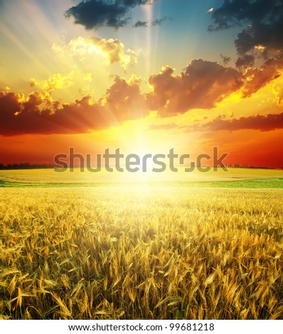 good red sunset over golden field