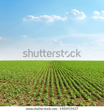 good sunset with clouds over agricultural green field with sunflowers #1400419637