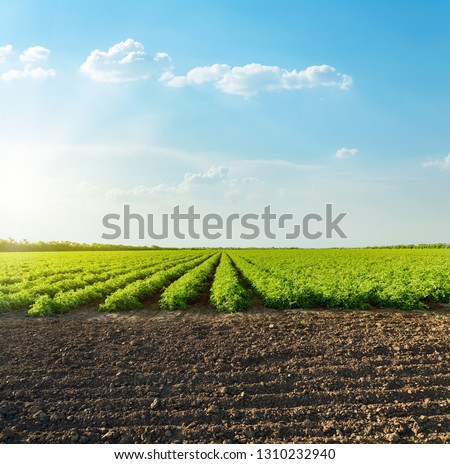 good sunset with clouds over agricultural green field with tomatoes #1310232940