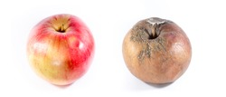 Good vs bad, good versus evil, good apple vs rotten apple isolated on white background