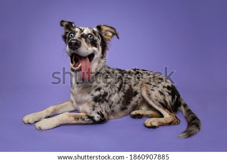 Goofy Australian Shepherd Puppy  With Tongue Out Foto stock ©