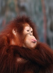 Goofy - Close Up of a Female Orangutan