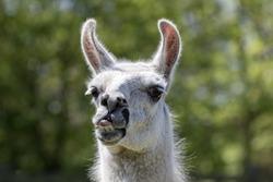 Goofy lama pulling a face. Funny llama animal sticking it's tongue out. Humorous meme image