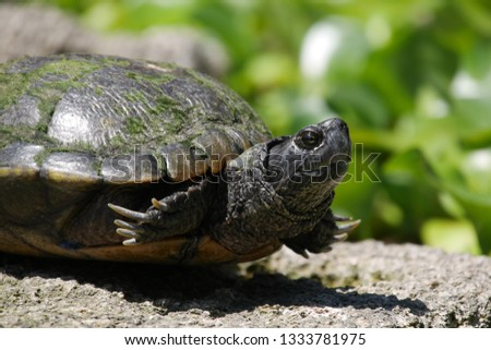 Goofy Painted Turtle Partly Tucked Intro Shell #1333781975