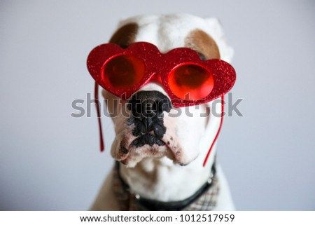 Goofy white boxer dog with sparkly red heart shaped sunglasses for Valentines Day