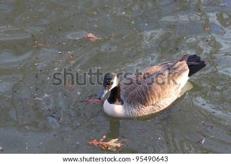 Goose #95490643