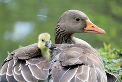 goose and baby goose close-up photo