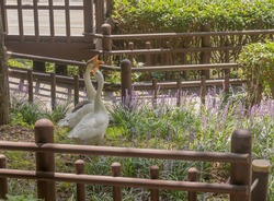 Goose and gander together in garden of lilac flowers in public park.