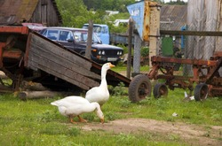 Goose and rust tractor in village in summer day (series Animals)