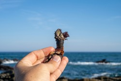 Goose barnacles known as perceves. Famous tasty expensive seafood . From crustaceans family