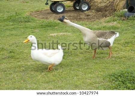 goose chasing a duck