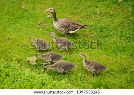 Goose family - adults walking with their offsprings in a park #1097538245
