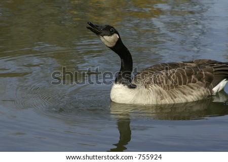 Goose gargling water down his long neck