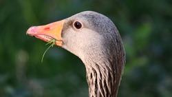 Goose head holding grass in the beak