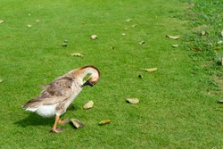 Goose is a bird of any of waterfowl,Chinese geese is cleaning feathers, the domesticated form of the swan goose is walking in the green lawn at the farm.
