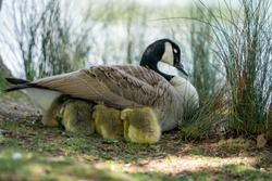 goose on grass with gosling under the wing