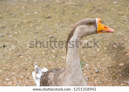 Goose swan poses for a picture on a sandy background.