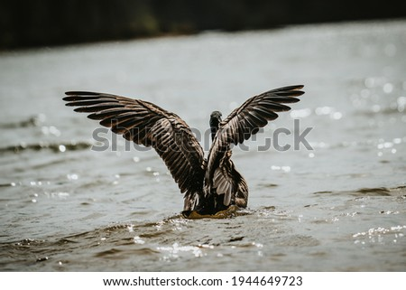 Goose unfurling it's wings before flight. Photo stock ©