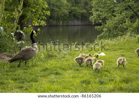 Goose with its babies.