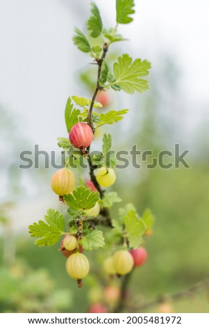 Gooseberries on a branch in the garden. Natural and organic prod Zdjęcia stock ©