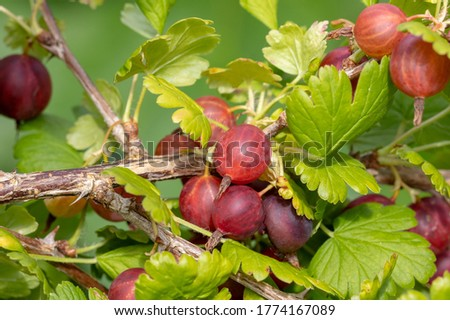 Gooseberry /Ribes uva-crispa/  branch with dark red berries on a blurred foliage background. Healthy, vitamin-rich, dietary berries. Grossulariaceae Foto stock ©