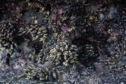 Gooseneck barnacles o Goose barnacles, also called Percebes. This crustacean, which for many is the king of all seafood, grows on the rocky coast that is battered by the open sea.