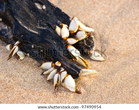 Gooseneck barnacles on lumber