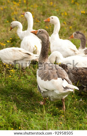 Gooses are grazing on the grass, agriculture
