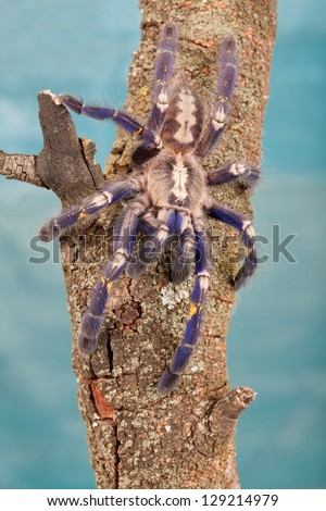 Gooty Metallica tarantula (Poecilotheria metallica) on wooden log against blue background #129214979