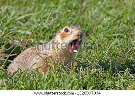 gopher climbed out of the hole on the lawn, fluffy cute gopher sitting on a green meadow on a Sunny day, gopher screams in the meadow, closeup, toned