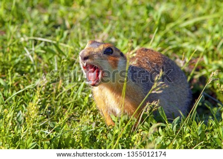 gopher climbed out of the hole on the lawn, fluffy cute gopher sitting on a green meadow on a Sunny day, gopher screams in the meadow, closeup