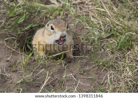 Gopher genus  rodents of the squirrel family. Hungry gophers are attacking and are aggressive.