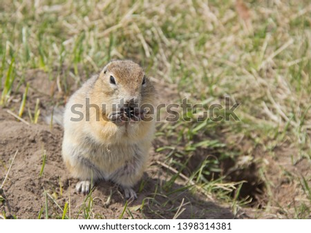 Gopher genus  rodents of the squirrel family. The gopher eats the seeds.