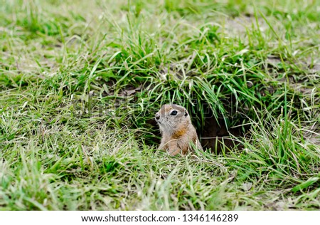 Gopher in the field looks out of the hole. Rodents.