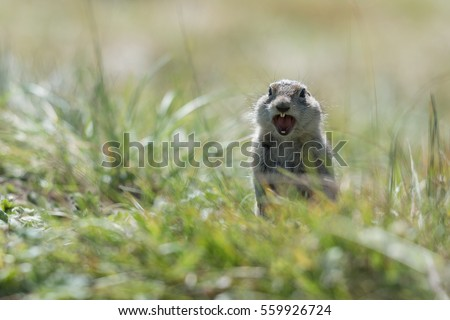 gopher shouts in the green grass