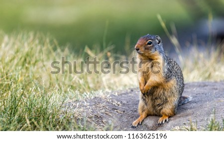 Gopher standing pose