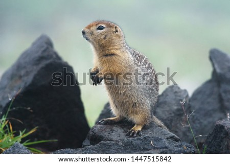 Gopher stands on its hind legs and watches what is happening