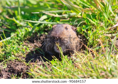 Gopher sticking out of a ground hole