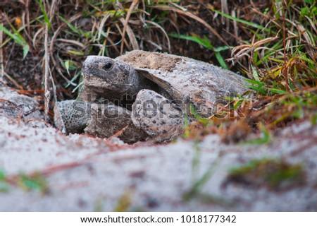 Gopher tortoise florida