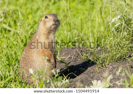 gophers climbed out of the hole on the lawn , furry cute  gophers  sitting on a green meadow in sunny day