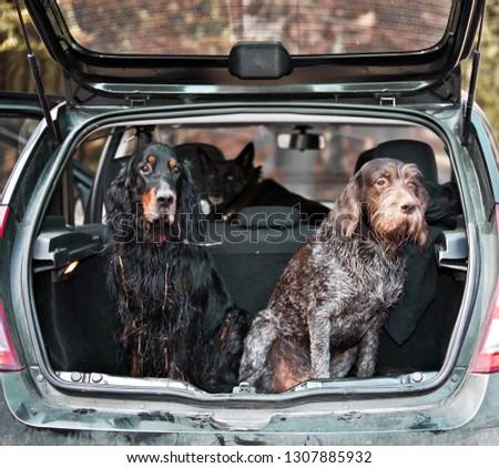 Gordon Setter and drathaar sitting in car trunk #1307885932