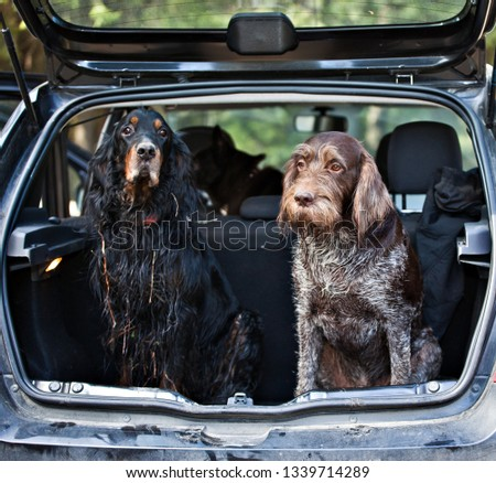 Gordon Setter and drathaar sitting in car trunk #1339714289