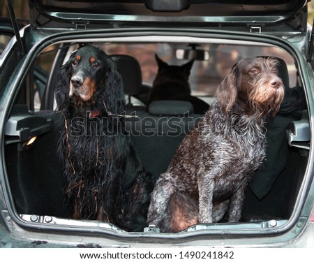 Gordon Setter and drathaar sitting in car trunk #1490241842