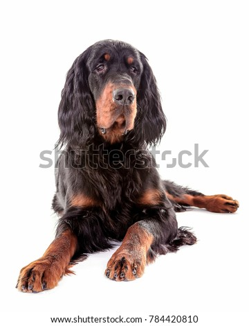 Gordon setter dog in white background, front view #784420810