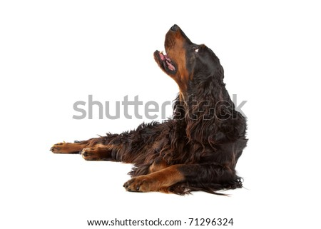 Gordon Setter dog lying and looking up, on a white background