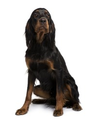 Gordon Setter dog, 16 months old, sitting in front of white background